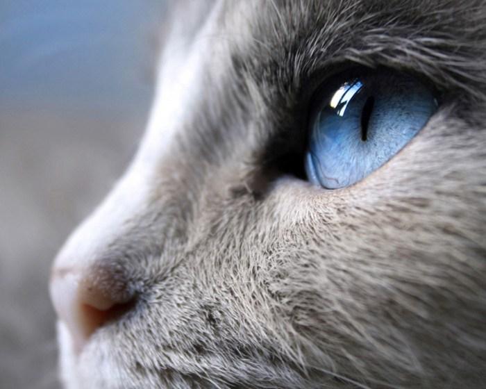 Siam_cat_eye_12763-1o8z6cd