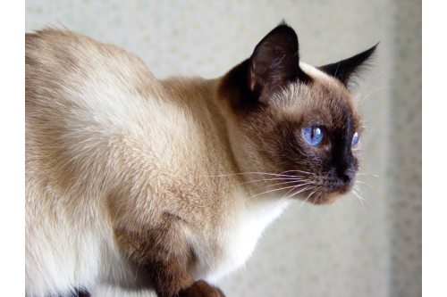 traditional-siamese2